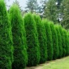 Creating a Hedge with Arborvitae
